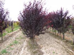 Nigr's plum