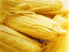 Corn on EXPORT