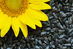 Sunflower sunflower seeds sowing campaigns