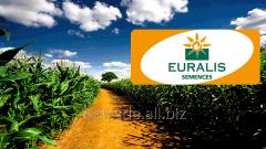 Seeds of corn of selection of euralis p0023