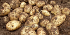 Seeds of early potatoes in Moldova