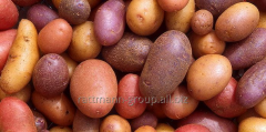 Potatoes seeds in Moldova, Bryansk early