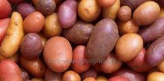 Семена картофеля в Молдове, брянский ранний