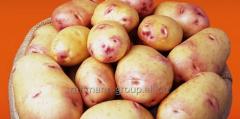 Potatoes seeds in Moldova, the Zhukovsky early