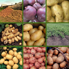 Seeds of potatoes of different grades in Moldova