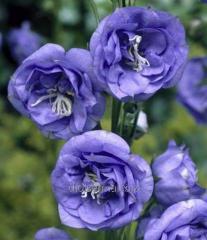 Семена Евро Колокольчик махровый синий