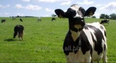 Breeding cow calves and cows.