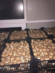 Champignon mushrooms fresh brown