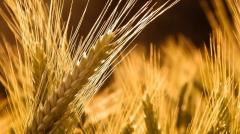 Пшеница, зерно фуражное, пшеница продовольственная
