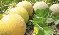 Melon seeds Dzhukar RZ F1