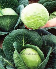 Семена капусты белокочанной Етма F1