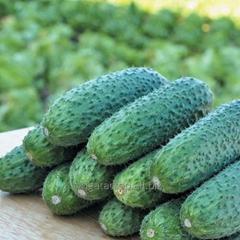 Seeds of cucumbers Tchaikovsky F1