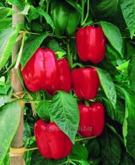 Pepper seeds F1 Mazourka