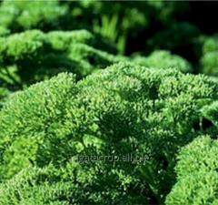 Seeds of parsley of Rihn of F1