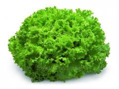 Семена салата Афицион RZ