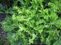 Seeds of salad of Barundi of F1
