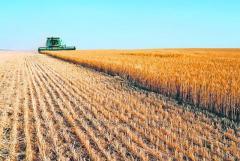 Grîu la export de la Agrosfera-BM
