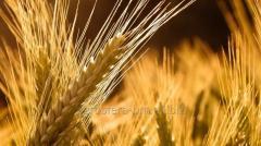 Пшеница на экспорт от АГРОСФЕРА-БМ