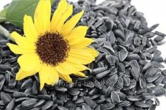 Seminte de floarea soarelui din Moldova de la AGROSFERA-BM