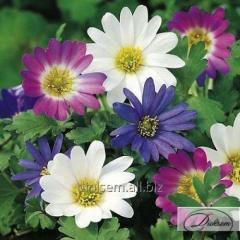 Bulbs Anemone of Blanda Mix 37195