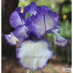 Bulbs of irises of Blue Staccato 10383