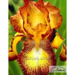 Bulbs of irises of Spotted Yellow 10396