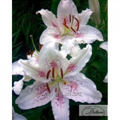 Bulbs Lilia Muscadet 36082