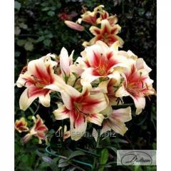 Bulbs Lilia Albany 36066