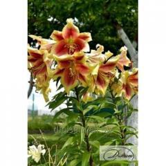 Bulbs Lilia Holland Beauty 10143