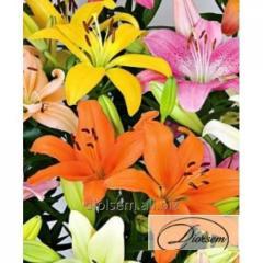 Bulbs Lilia L.A.Mixed 37220
