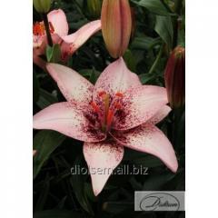 Bulbs Lilia Pink Pixels 10102