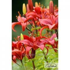 Bulbs Lilia Gran Paradiso 37214