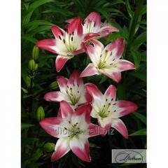 Bulbs Lilia Lollypop 37213