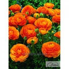 Bulbs ranunkulyus Orange 12403