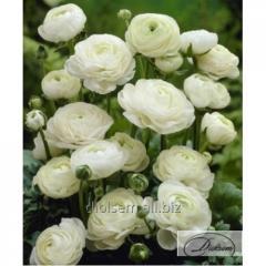 Bulbs ranunkulyus White 12402