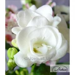 Bulbs of freesias of White 10252