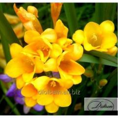Bulbs of freesias of Yellow 10253