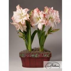 Bulbs Aphrodite 35290 Amaryllis