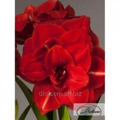 Луковицы амариллис Double Red Nymph 10277