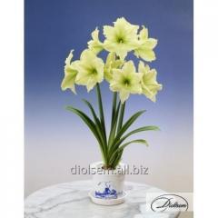 Bulbs Amaryllis of Lemon Lime 35294