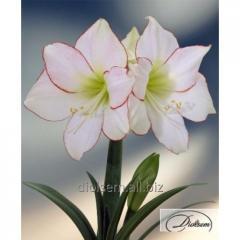 Bulbs Picotee 35292 Amaryllis