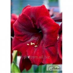 Bulbs Amaryllis of Royal Velvet 35291