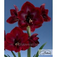 Bulbs Amaryllis of Grand Diva 35300