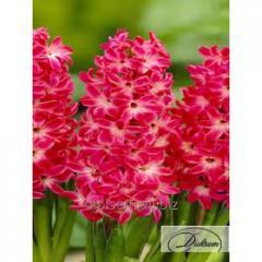 Bulbs of hyacinths of Red Magic 35169
