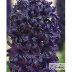 Bulbs of hyacinths of Blue Saphire 12306