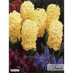 Bulbs of hyacinths of City of Haarlem 37185
