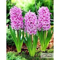 Bulbs of hyacinths of Fondant 37183