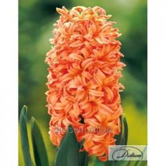 Bulbs of hyacinths of Gipsy Queen 12303