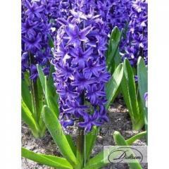 Bulbs of hyacinths of Peter Stuyvesant 12307