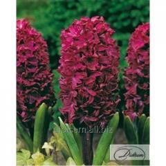Bulbs of hyacinths of Woodstock 12305